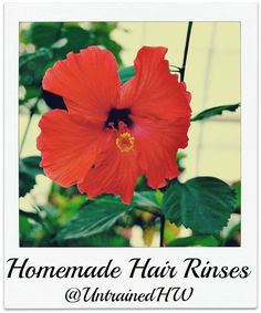 How To Make Homemade Hair Rinses herbsandoilshub.c… This is a homemade hair rinse that conditions the hair & scalp. You'll also find recommendations on herbs to use based on the color of your hair. Source by herbsandoilshub Homemade Shampoo, Homemade Skin Care, Homemade Beauty Products, How To Make Homemade, Homemade Hair, Diy Shampoo, Diy Products, Hair Rinse, Hair Scalp