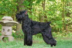 Giant Schnauzer - Beulah (GCh HiStyle's Beautiful Beyond Belief)