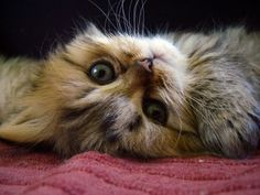 """""""If there were to be a universal sound depicting peace, I would surely vote for the purr."""" --Barbara L Diamond"""