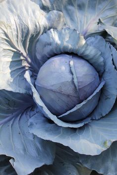 Cabbage in hues of blues and lilac, this should make for an interesting salad