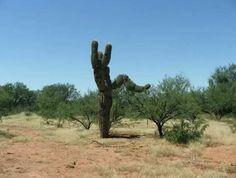 I'll stomp on you!  (Saguaro cactus)