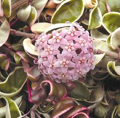 Variegated Hindu Rope (Hoya carnosa 'Crispa Variegata'). A wonderful companion to any indoor collection of low-to-moderate-light plants. The curled and twisted leaves are dappled in white, pink and green as they hug the trailing stems. Clusters of light-pink flowers arise from spring to fall, carrying a delicious mock-scent. Easily grown, it's perfect for hanging pots.