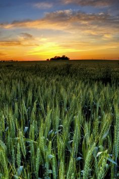 One of the Last Remaining Scenic Views in Frisco Texas - May sunset over wheatfield in Frisco Texas site of new high school to be built next year
