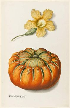 Joseph Jakob von Plenck/ Courgette and a pumpkin, 18-19th century