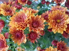 copper mums - Google Search