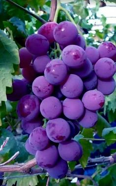 Hana Hi — Red grapes. Fruit Plants, Fruit Garden, Fruit Trees, Grape Tree, Grape Vines, Fresh Fruits And Vegetables, Fruit And Veg, Beautiful Fruits, Beautiful Flowers