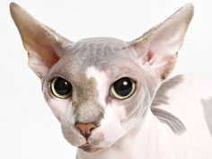 Can you guess the10 most popular pedigreed cat breeds in America? Click to see! (Vidar Skauen / Animal Photography)