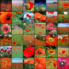 Flickr Red/ Poppies