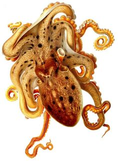 Vintage octopus illustration by Adolf Naef (Swiss, 1883–1949). Zoologist famous for his work on cephalopods