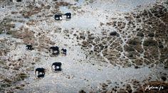 Vue aérienne d'éléphants traversant le delta. www.flytem.fr