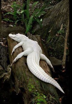 White alligator is one of rarest in world with only 12 of its kind.These are not albino animals, they are what we call leucistic, which means they have a little bit of pigmentation around the mouth and a little touch on the tail and they have piercing blue eyes. [how is that for a natural looking display?]