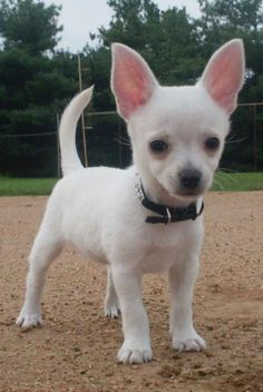 Applehead Chihuahua Puppies | GORGOUS CHIHUAHUA PUPPY - lanis - Dogs for sale, puppies for sale ...