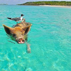 Pig Beach, The Bahamas