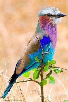 Um dos pássaros mais coloridos do mundo