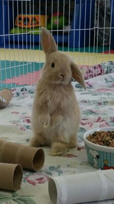 Holland lop bunnies. 3 week old bunny, lop ear bunny, bunny sitting up, bunny rabbit, rabbits, bunnies