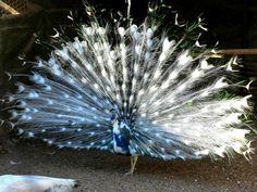 India Blue Blackshoulder Silver pied Peafowl
