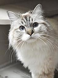 Muffin is an adoptable Ragdoll Cat in Novato, CA. Muffin is a special princess Ragdoll girl, petite, gorgeous to look at and opinionated about how her life should be. She is an affectionate, playful k...