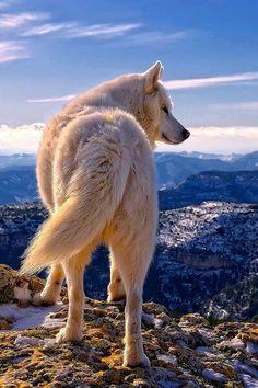 Twitter / SWildlifepics: White Wolf