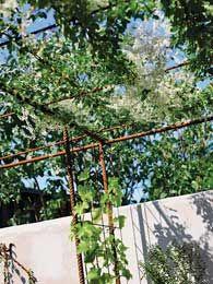 pergola i armeringsstål med klatrende blåregn