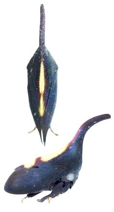 Enchenopa sp.1  (from insects of Guyana)