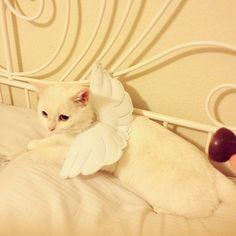 Angel pet costume #halloween
