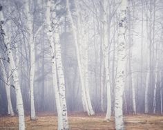 Fine art landscape photography print of birch trees on a foggy winter day in Maine by Allison Trentelman.