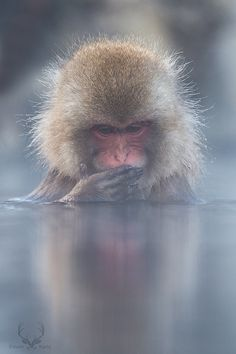 07 Reasons That You Should Visit Jigokudani Monkey Park, Japan Monkey Park Japan, Animals And Pets, Cute Animals, Wild Animals, Funny Animals, Jigokudani Monkey Park, Swimming Pigs, Baboon, Orangutan