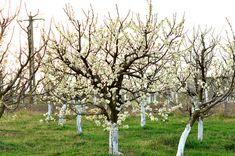 Cum se face altoirea cu ramură detașată, sub scoarța terminală Paradis, Salvia, Agriculture, Lawn And Garden, Plant, Life, Farm Gate, Sage