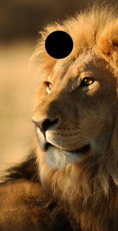 Lion Wallpaper Iphone, Animal Wallpaper, Iphone Wallpapers, Leopard Wallpaper, Wallpaper Backgrounds, Beautiful Cats, Animals Beautiful, Animals And Pets, Cute Animals