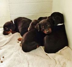 There are 12 adorable baby Rottweiller mixes and they are super cute and need out now. Please take a look and SHARE. Thanks! I am not yet neutered/spayed. I have been at the Carson Animal Care Center since January 12, 2015. I am available on January 12, 2015. You can visit me at my temporary home at C214. https://www.facebook.com/171850219654287/photos/pb.171850219654287.-2207520000.1421156786./358555844317056/?type=3&theater