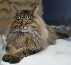 maine coon...Kitty 1992-2011, except she was prettier!