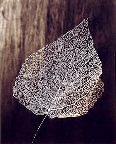 Leaf Skeleton Photography by Olive Cotton. Leaf Skeleton, Foto Art, Seed Pods, Deviant Art, Leaf Art, Natural Forms, Natural Structures, Wabi Sabi, Macro Photography