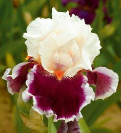 Brindled Beauty Iris Germanica | Crimson Cloud Iris Germanica