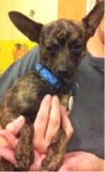 Marble -- Chihuahua -- male -- 7.5 lbs -- 1 year old -- brindle -- Shy loverMarble was given up at only 11 weeks of age because his people were moving. He lived with another smaller dog and kids, although he was a bit fearful of them.Marble's...