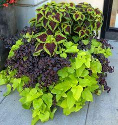 Purple Coleus and Chartreuse Potato vine Planter