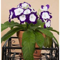 Cape Primrose 'Full Moon' (Streptocarpus hybrid) flower has deep purple edges and full white centers