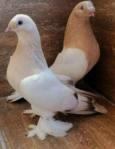 Tumbler Pigeons, Cute Pigeon, Pigeon Cage, Pigeon Pictures, Pigeon Breeds, Homing Pigeons, Chicken Painting, Bird Feathers, Beautiful Birds