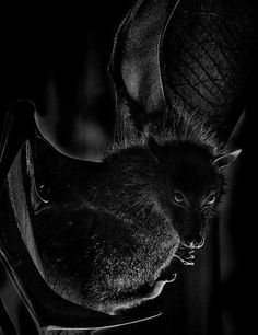 """We are as bestial as the Lupinex & civilised."""" Lord Hamma, God of Light & Darkness. Beautiful Creatures, Animals Beautiful, Black Bat, Black And White, Noir Ebene, Just Bats, Animals And Pets, Cute Animals, Black Animals"""