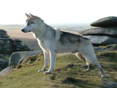 northern inuit dog.....scottish husky want want WANT!!!