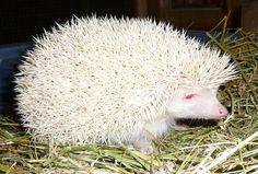 Porco espinho albino                                                                                                                                                      Mais