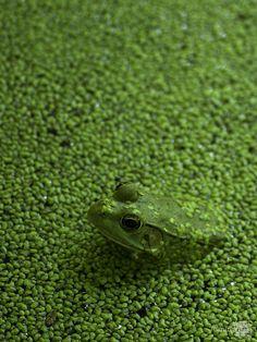 Frog In Pond by Birmingham artist Marc Garrison.
