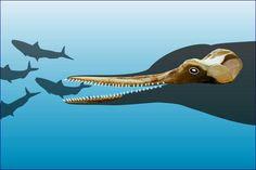 Huaridelphis raimondii, with an outline of the head and potential fish prey. Miocene of Peru (16 mya).  Belongs to Squalodelphinidae, a rare extinct family of marine dolphins, which are related to the extant Ganges and Indus river dolphins. Image credit: © G.Bianucci.