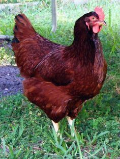 I love the color of this Rhode Island Red hen