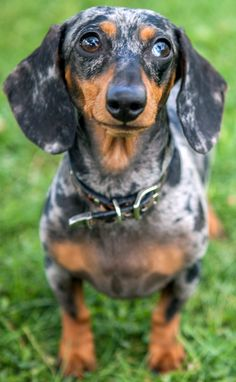 Hi My name is Blue. My mom named me that because she found me on a cold December night at the bottom of a dumpster. She says I was so so cold. My heart is warm now with all the love she gives me. Dapple Dachshund, Dachshund Puppies, Dachshund Love, Dogs And Puppies, Cute Animal Quotes, Cute Animals, Dog Quotes, Fur Babies, Cute Dogs