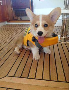 Little Sailor Corgi | Cute puppy and dog
