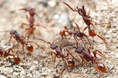 Army ants are nomadic swarm feeders and move their nest, or bivouac, from place to place as they forage. They use chemical trails to form their raiding parties as the workers are blind or nearly blind depending on the species. They have special barbs on their legs that allow them to hook together to form their living nest or create bridges when needed. In some Neotropical areas they are considered a keystone species because of all the animal associates that depend on them to flush prey. Keystone Species, Insect Art, Book Images, Ants, Book Art, Bridges, Blind, Parties, Animal