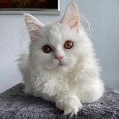 White Cats, Kitty, Photos, Instagram, Little Kitty, Pictures, Kitty Cats, Kitten, Cats