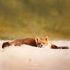 Red Fox by Roeselien Raimond
