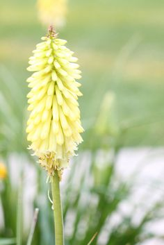 Kniphofia 'Flamenco' (red hot poker or torch lily)