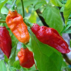 Bhut Jolokia (Ghost Pepper).  800,000 - 1,041,427 Scoville Units. Also known as naga jolokia, naga morich, bih jolokia, u-morok, ghost pepper, ghost chili pepper, red naga chilli, and ghost chilli. The Bhut Jolokia is cultivated in the Nagaland and Assam region of northeastern India and parts of neighboring Bangladesh. Previously recognized by Guinness World Records as the hottest pepper in the world.
